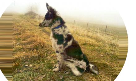 Vita da Pastore. Studio sulle origine dei cani da gregge alpini.